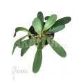 Orchidee 'Tribulago tribulorides'