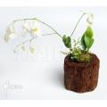 Wasserschlauch 'Utricularia alpina 'Henry piettier giant'