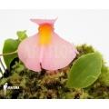Utricularia (Wasserschlauch)