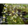 Wasserschlauch 'Utricularia bisquamata'