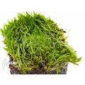 Wasserschlauch 'Utricularia bisquamata' starter
