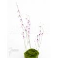 Wasserschlauch 'Utricularia blanchetti starter'