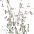 Wasserschlauch 'Utricularia blanchettii 'Chapada Diamantina'