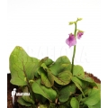 Wasserschlauch 'Utricularia calycifida 'Gran sabana'