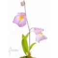 Wasserschlauch 'Utricularia endresii'