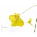 Wasserschlauch 'Utricularia flaccida'
