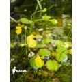 Wasserschlauch 'Utricularia gibba'