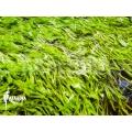 Wasserschlauch 'Utricularia graminifolia'