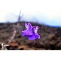 Wasserschlauch 'Utricularia humboldtii 'Serra do neblina'