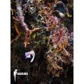 Wasserschlauch 'Utricularia' jamesoniana flower'