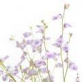 Wasserschlauch 'Utricularia livida'
