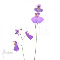 Utricularia longifolia (XL)