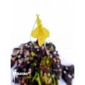 Wasserschlauch 'Utricularia mannii'