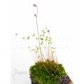 Wasserschlauch 'Utricularia minutissima' starter