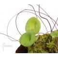 Wasserschlauch 'Utricularia nelumbifolia'