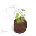 Wasserschlauch 'Utricularia nelumbifolia 'L'