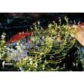 Wasserschlauch 'Utricularia neottioides'