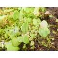 Wasserschlauch ´Utricularia nephrophylla 'White flower'