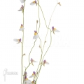 Wasserschlauch 'Utricularia parthenopipes'