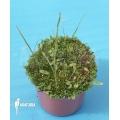 Wasserschlauch 'Utricularia praelonga'