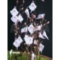 Wasserschlauch Utricularia pubescens 'Serra do araca'