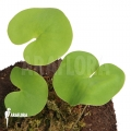 Wasserschlauch 'Utricularia reniformis 'Mata atlantica' 'L'