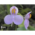 Wasserschlauch 'Utricularia reniformis 'Mata atlantica' 'S'