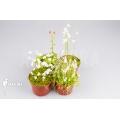Wasserschlauch 'Utricularia Starter Package 4'