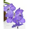 Orchidee 'Vanda x Blue Magic'