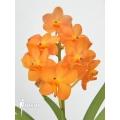 Orchidee 'Vanda x orange magic'