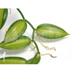 Vanilla planifolia variegated 'Vanilla orchid'