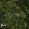 Java moos 'Vesicularia dubyana'