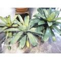 Bromelien 'Vriesea XL' package