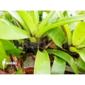 Bromelien 'Vriesea erythrodactylon'