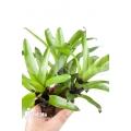 Bromelien 'Vriesea erythrodactylon' 'triodeal (3x)'