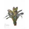 Bromelien 'Vriesea hieroglyphica' 'starter'