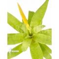 Bromelien 'Vriesea ospinae' 'Starter'