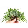 Bromelien 'Vriesea racinae' '5-deal (5x)'