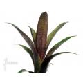 Bromelien 'Vriesea seideliana'