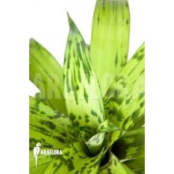 Vriesea striped 'nr 08130'