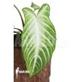 Xanthosoma lindenii 'M'