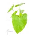 Xanthosoma sagittifolium Lime