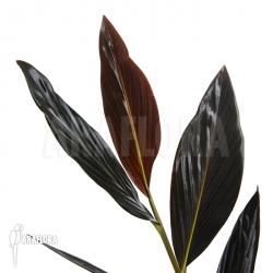 Zingiber malaysiana