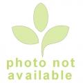 Schlauchpflanzen ´Sarracenia x minor (invador)'