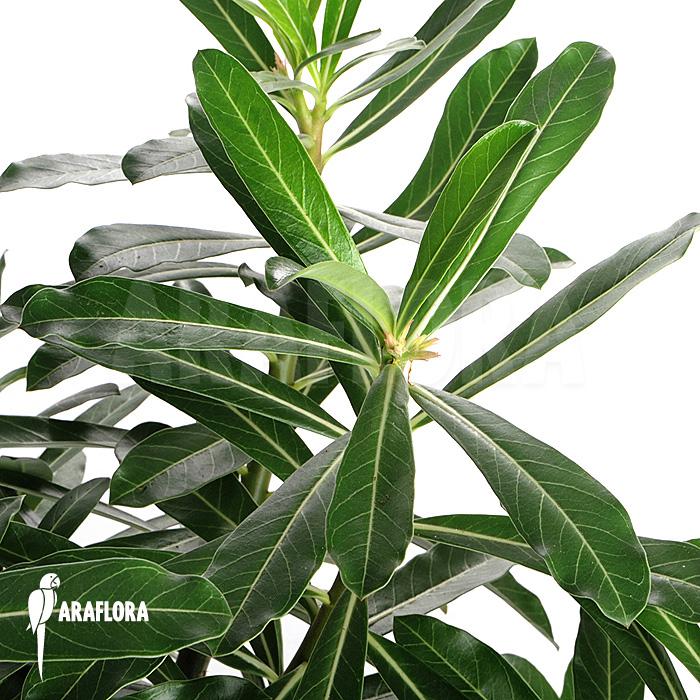 araflora exotic flora mehr adenium obesum. Black Bedroom Furniture Sets. Home Design Ideas