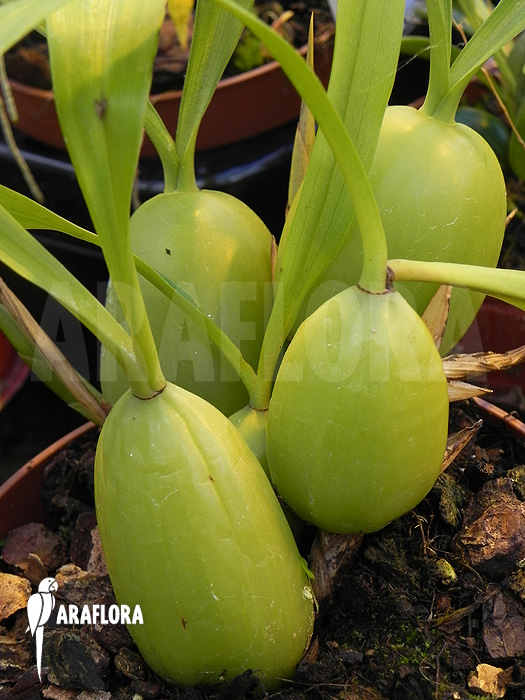 Coelogyne Cristata Orchidee Coelogyne Cristata Coelogyne