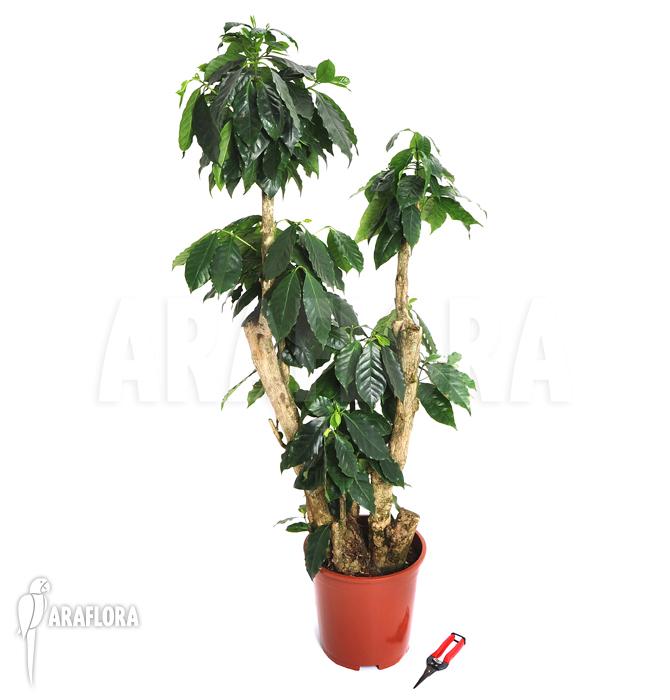 araflora exotic flora mehr kaffeepflanze 39 coffea arabica 39 xl. Black Bedroom Furniture Sets. Home Design Ideas