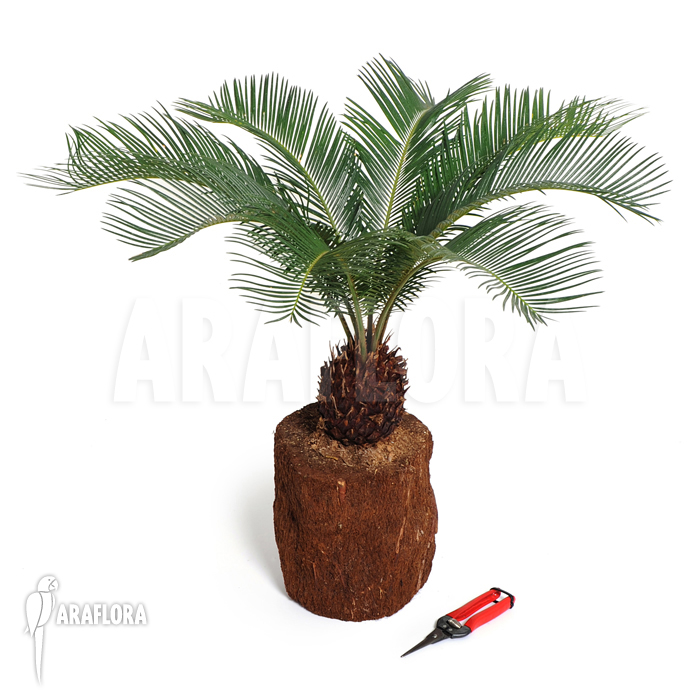araflora exotic flora mehr cycas revolta 39 s 39. Black Bedroom Furniture Sets. Home Design Ideas