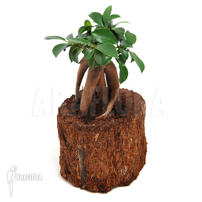 araflora exotic flora mehr ficus microcarpa 39 ginseng 39 s. Black Bedroom Furniture Sets. Home Design Ideas