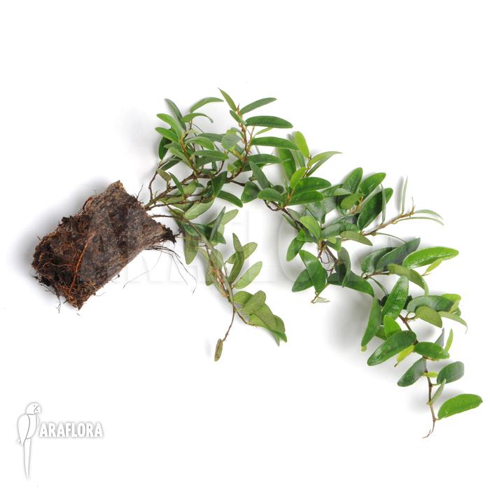 araflora exotic flora mehr ficus punctata 39 species panama 39. Black Bedroom Furniture Sets. Home Design Ideas